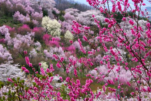 福島に桃源郷あり、花見山は、早めのお花見スポット
