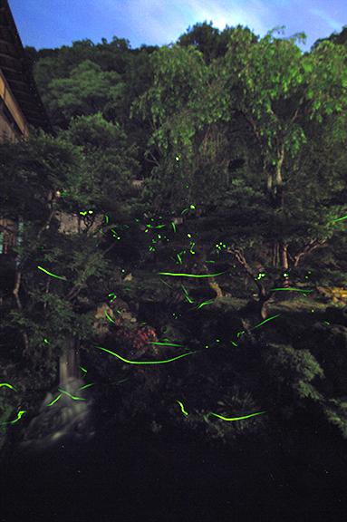 向瀧の中庭のホタル