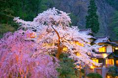 会津東山温泉 向瀧 満開の夜桜