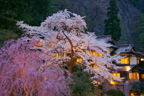 満開の桜 向瀧