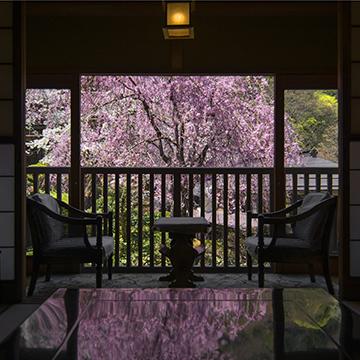 福寿草の間からのしだれ桜